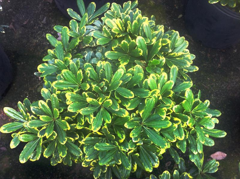 Dwarf Variegated Pittosporum