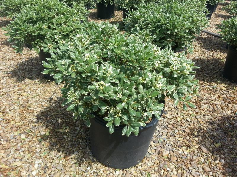 7 Gallon Variegated Pittosporum