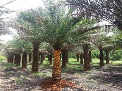 Sylvester palm field