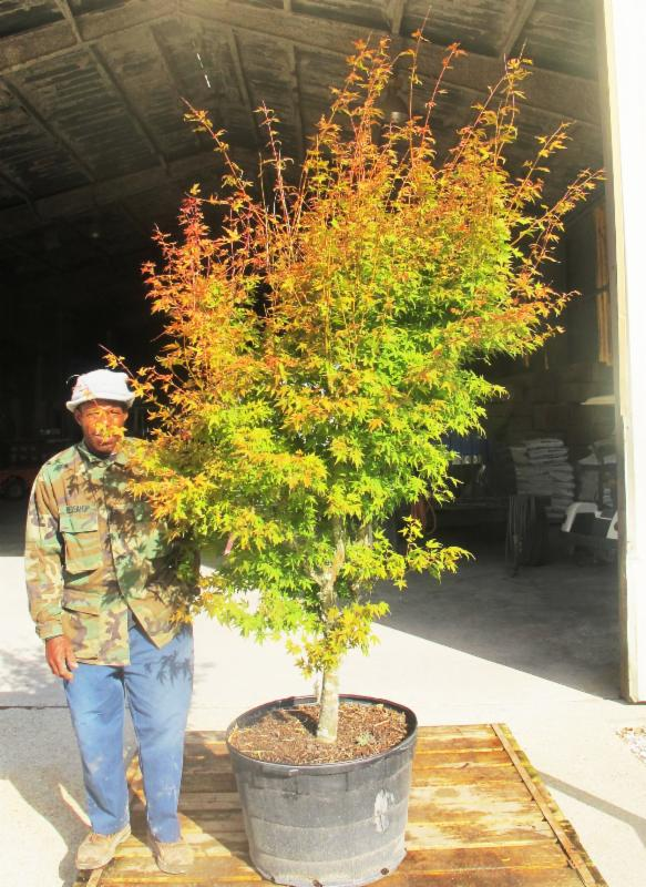 25 Gallon Japanese Maple