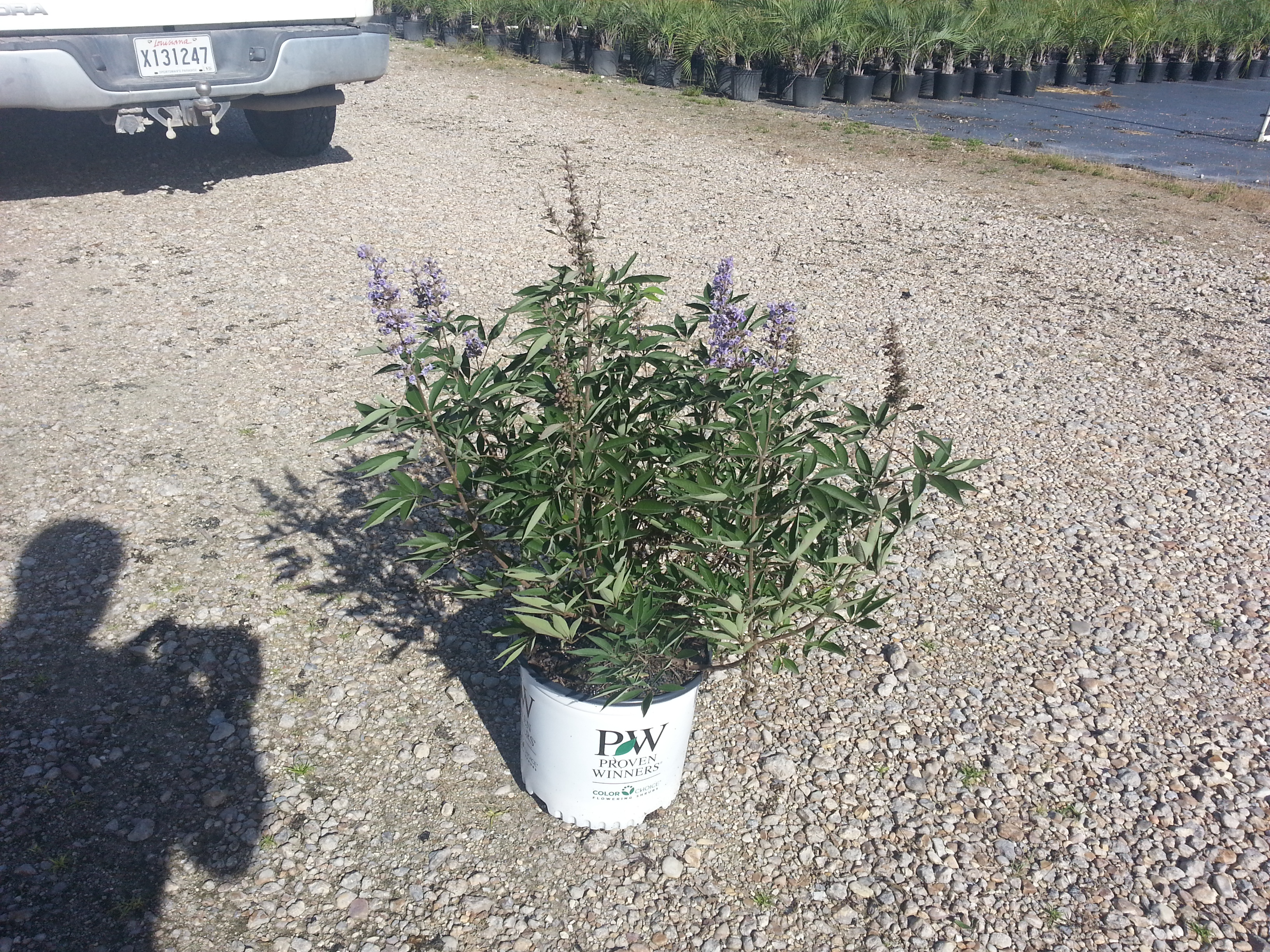 3g Blue Diddley dwarf Vitex