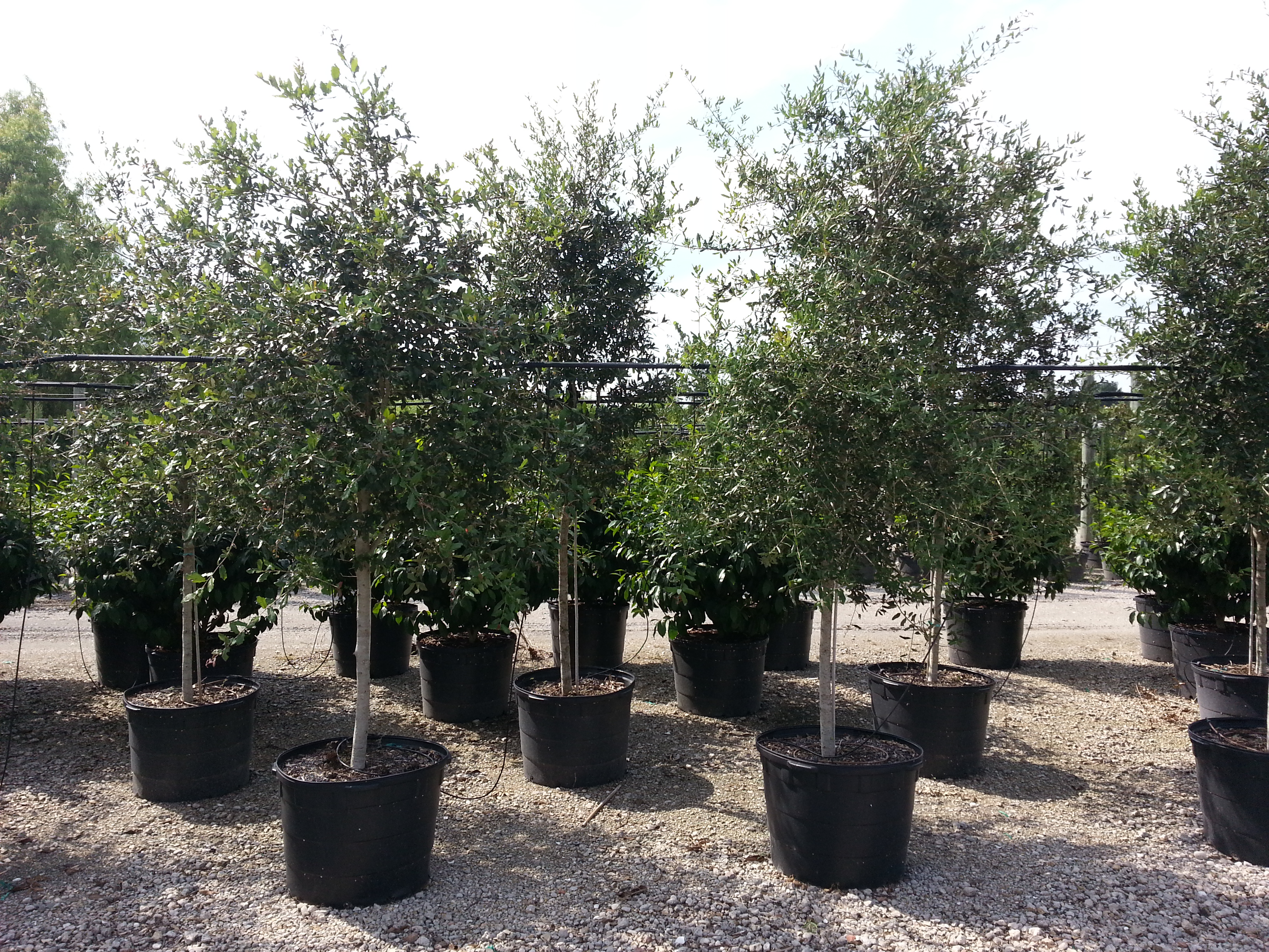 25 Gallon Orange Island Live Oak