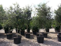 25 Gallon Orange Island Live Oak