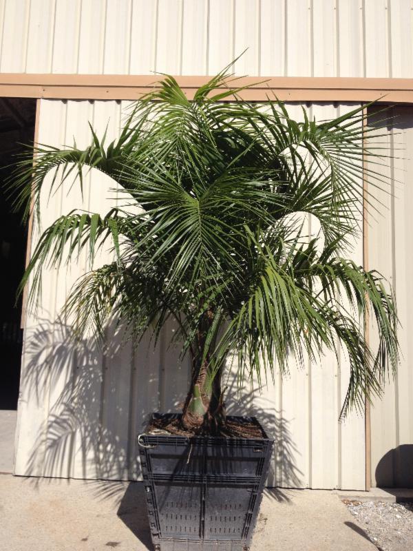 """36"""" box Mule Palm"""