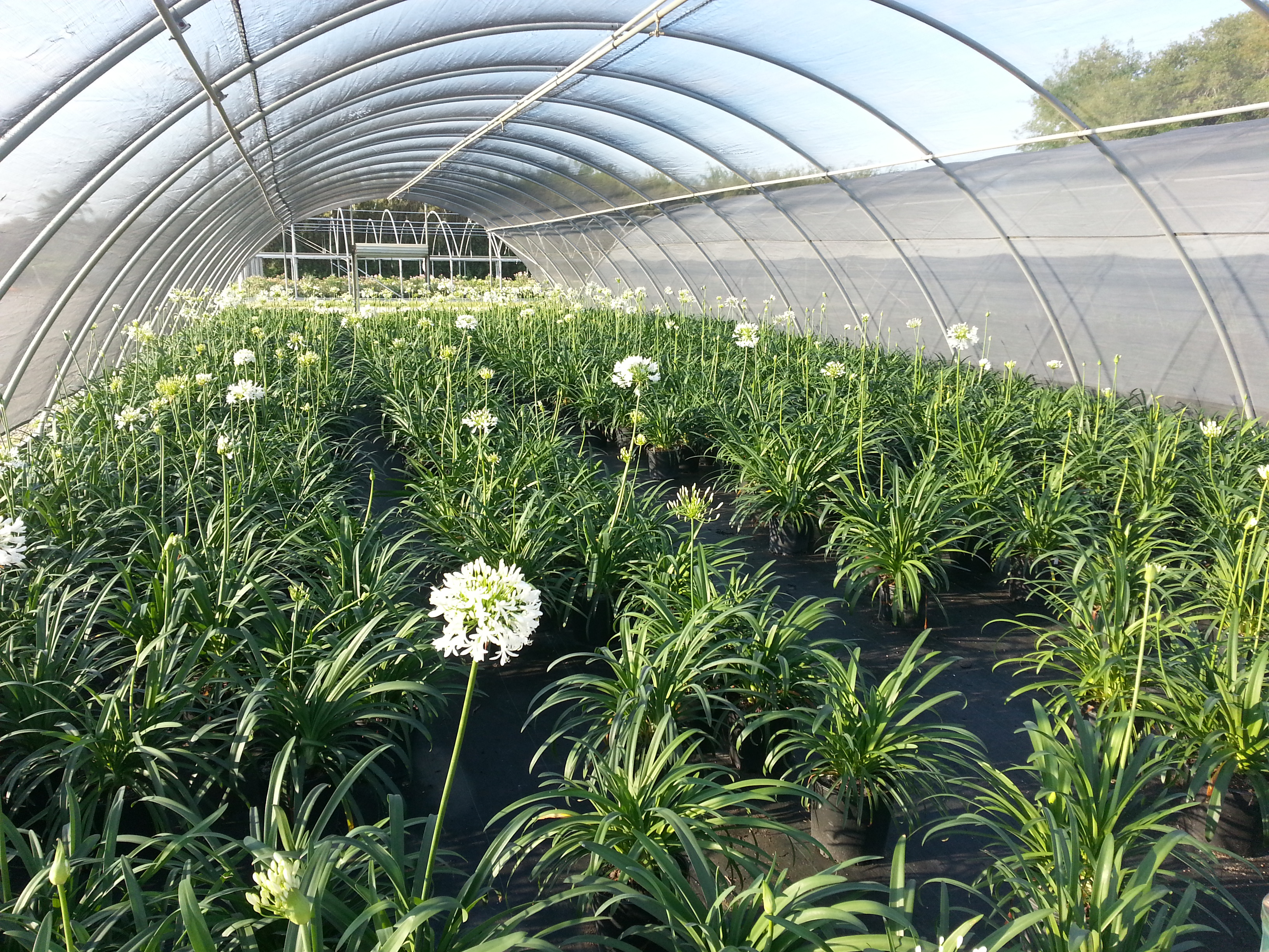 3 gallon Getty White Agapanthus