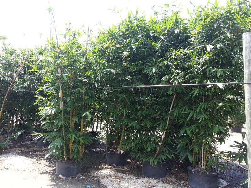 25 Gallon Oldhamii bamboo