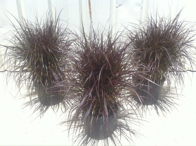 3 Gallon Purple Fountain Grass