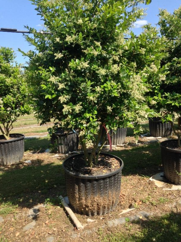45 Gallon Ligustrum