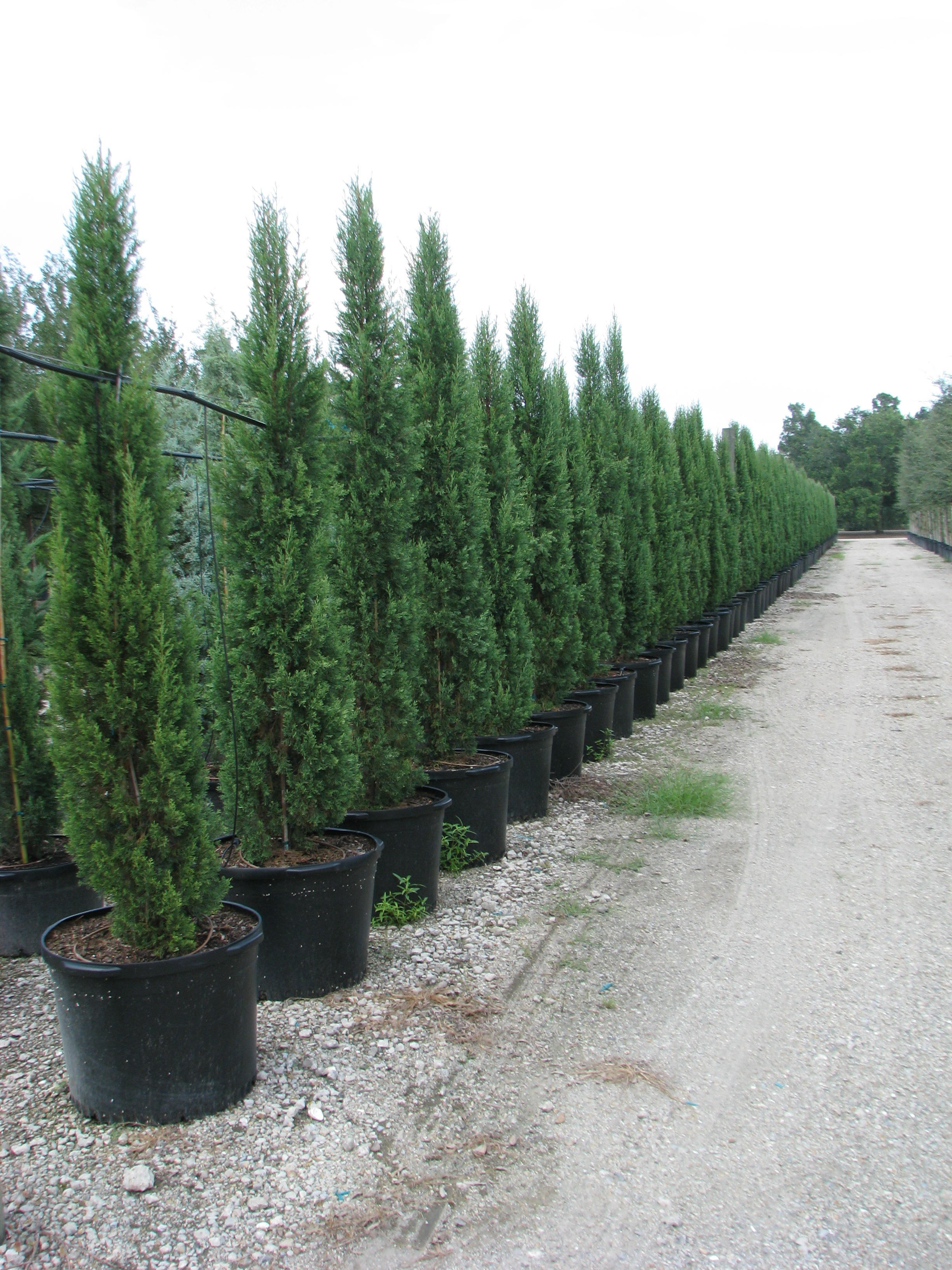 25 Gallon Italian Cypress
