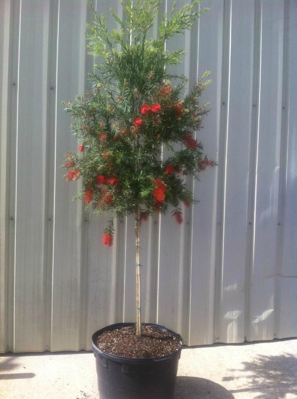 15 Gallon Hannah Ray bottlebrush std