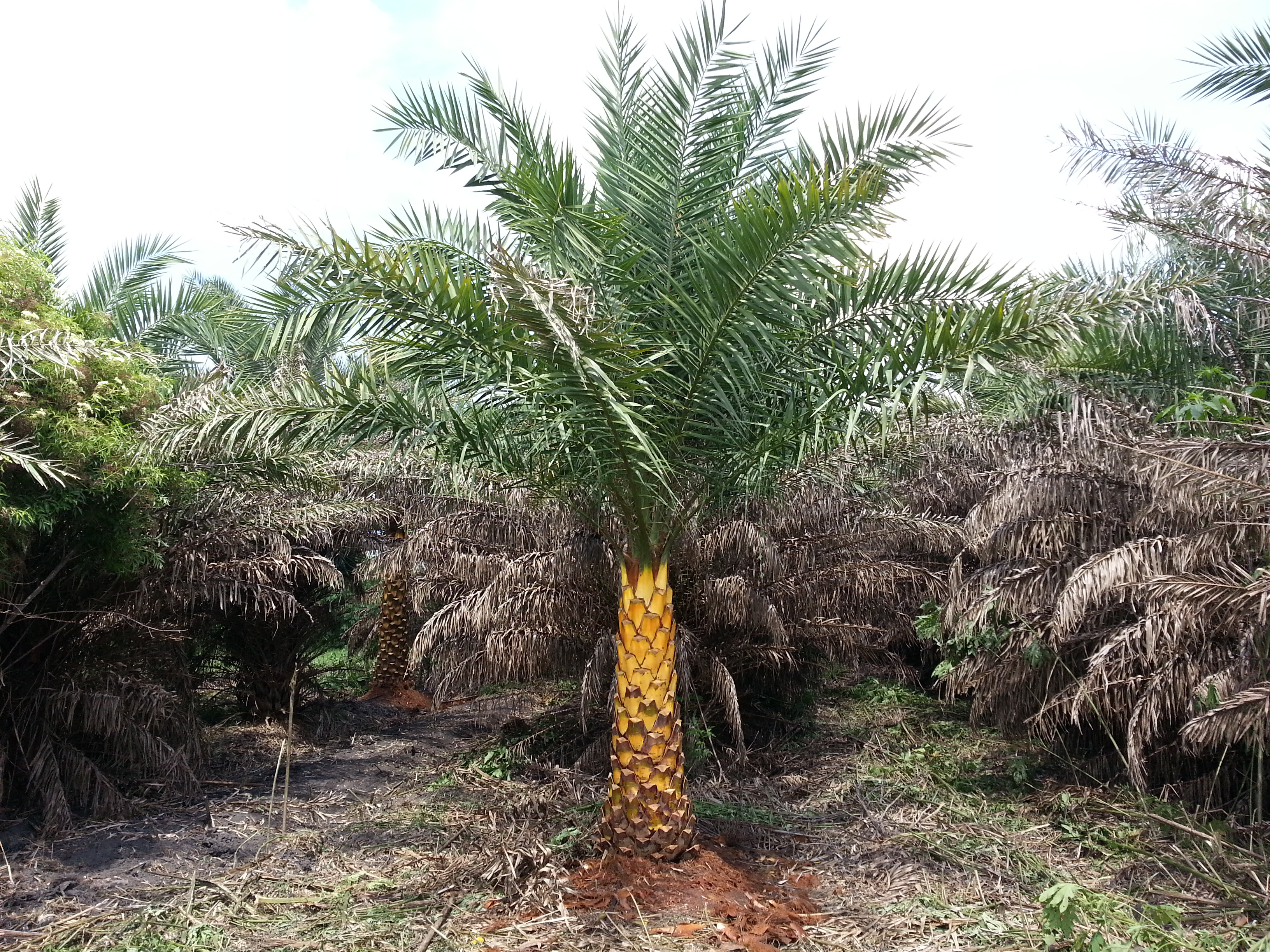 Louisiana grown Sylvester palm