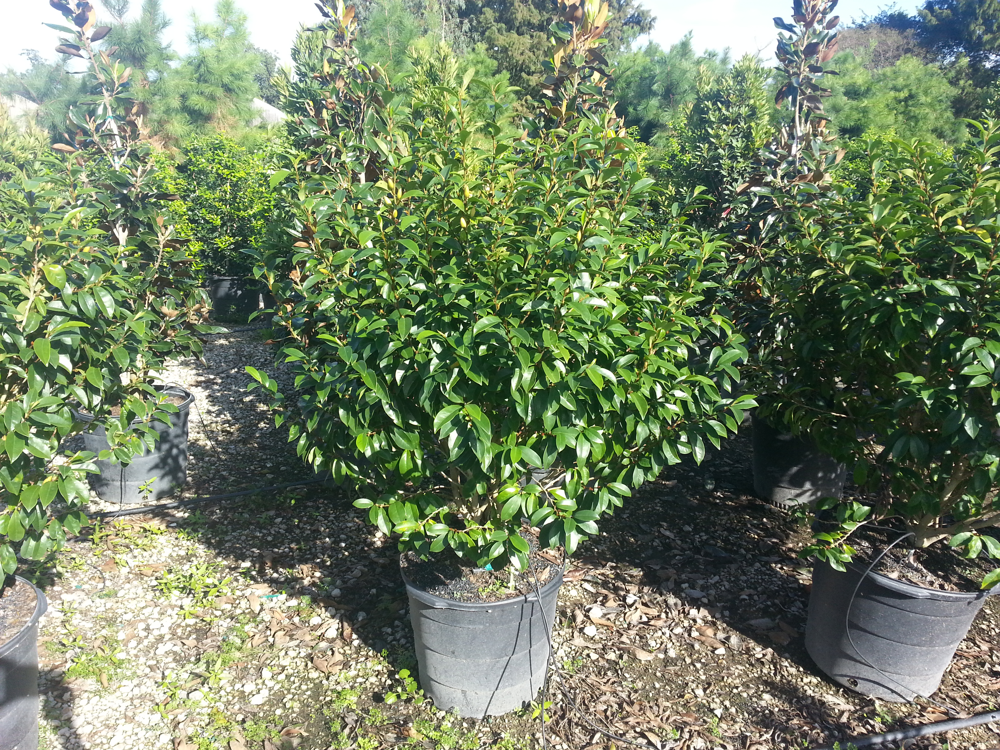 15 gallon Skinner's Banana Shrub