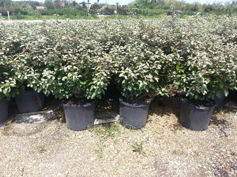 7 Gallon Elaeagnus