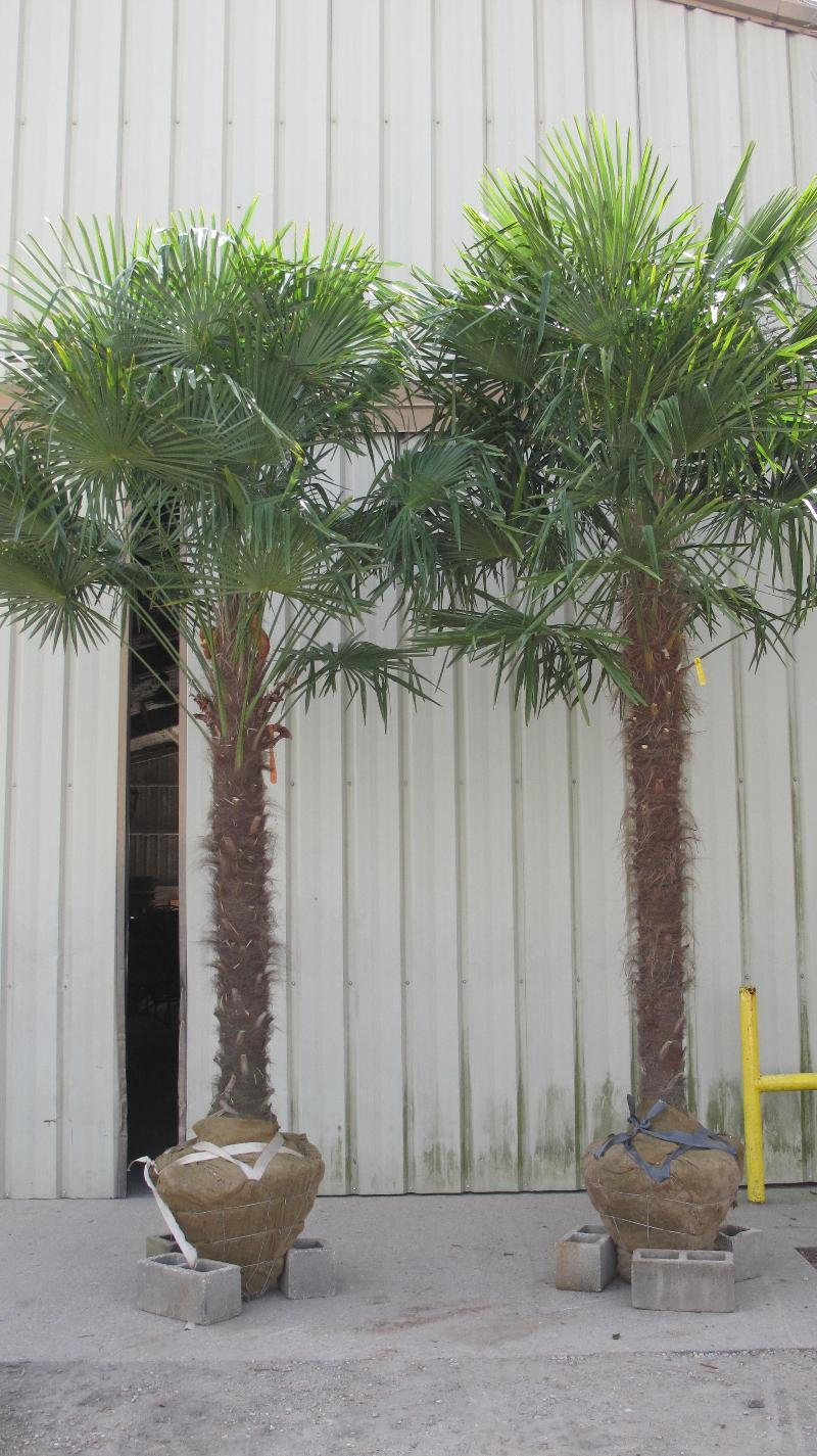 Fieldgrown Windmill Palms