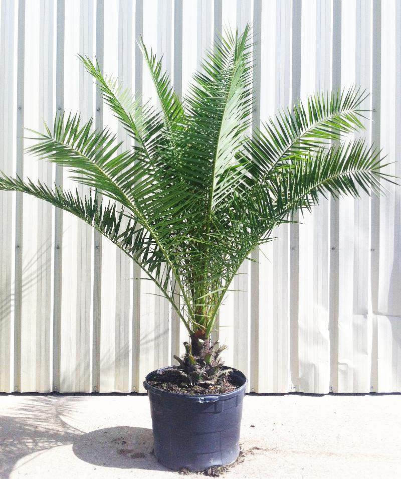25 Gallon Canary Island Date Palm