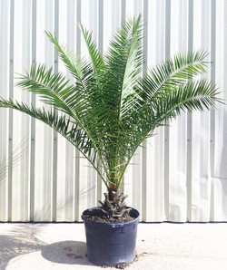 25 Gallon Canary Island Date Palm