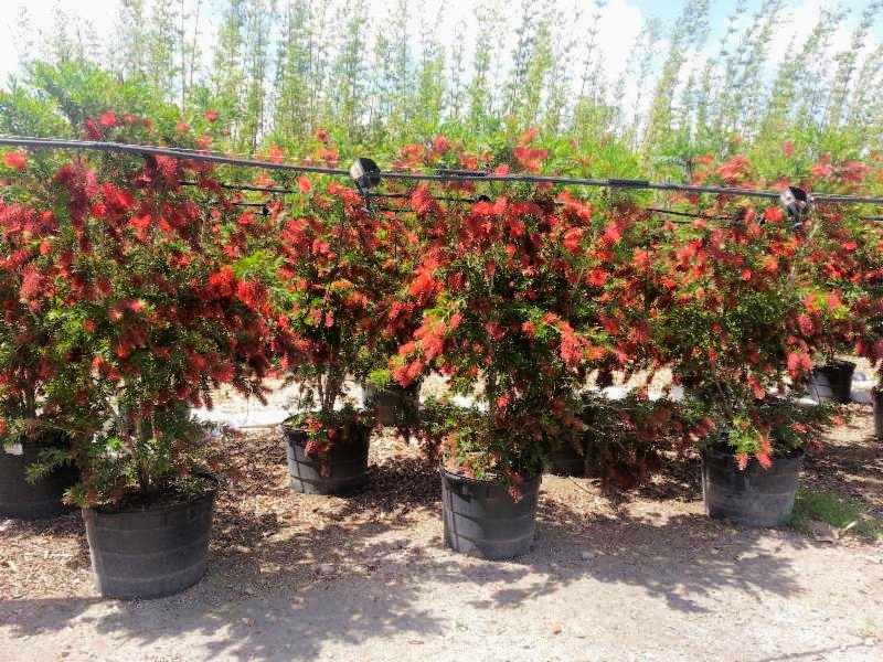 25 Gallon Macarthur bottlebrush
