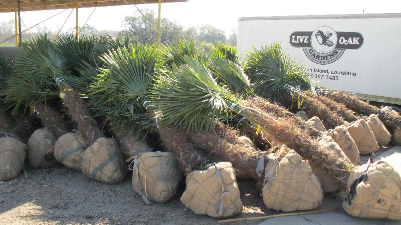 Windmill Palms ready for shipment