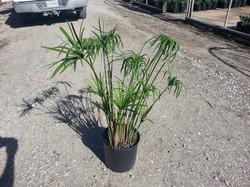 3 gallon Umbrella Plant