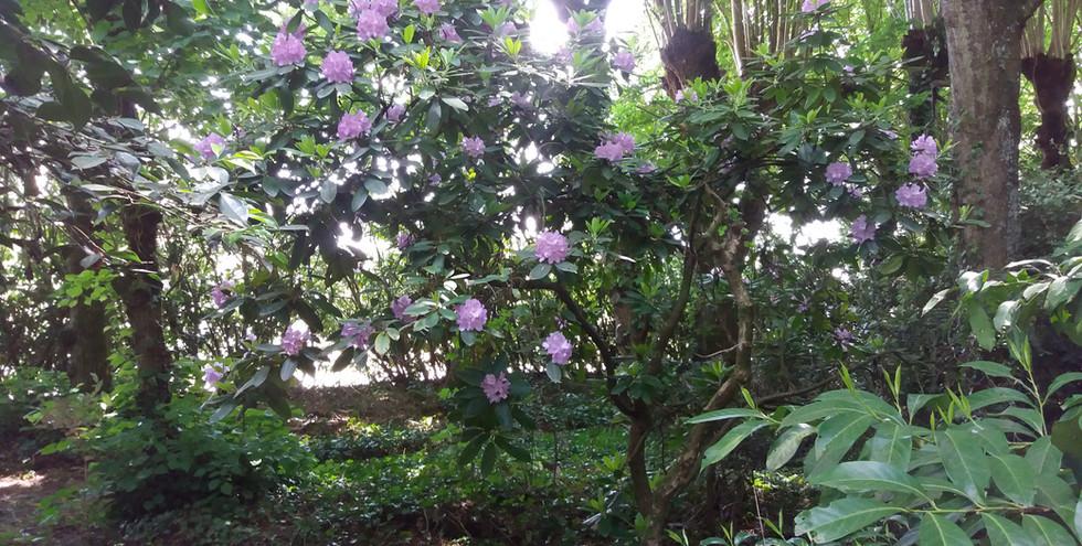 Rhododendrons dans le parc.jpg