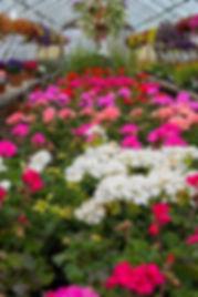 Geranium_greenhouse (2).jpg