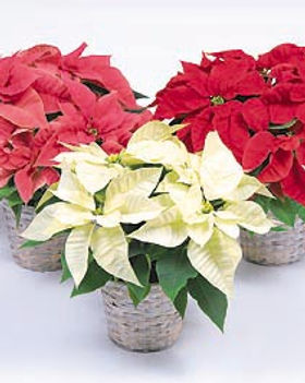 Christmas-poinsettias.jpg