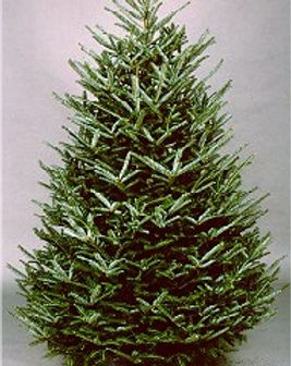 Christmas- fraser tree.jpg