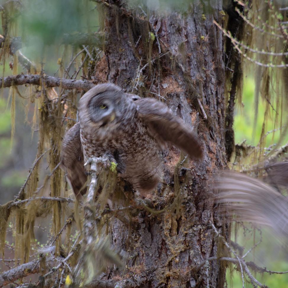 Great Grey Owl Pair (50 of 50).jpg
