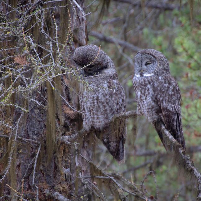 Great Grey Owl Pair (17 of 50).jpg