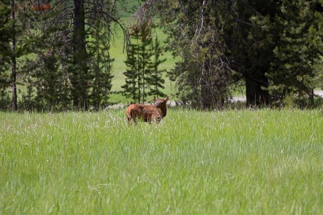 Elk Calf-26.jpg