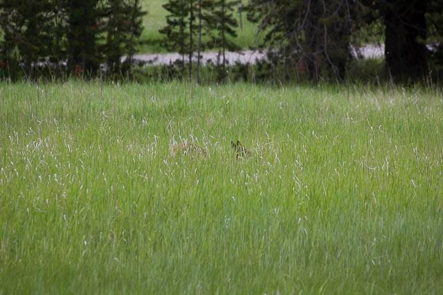 Elk Calf-22.jpg
