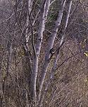 Squirl in Birch grove Painting.jpg