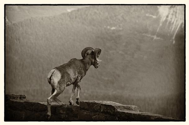 GNP Big Horn Sheep.jpg