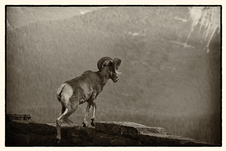 GNP Big Horn Sheep.jpg