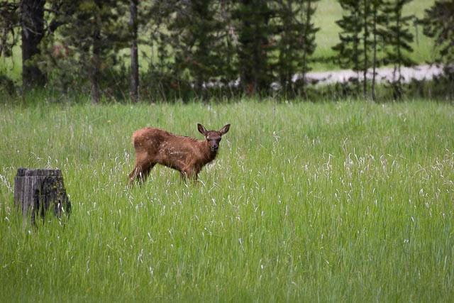 Elk Calf-16.jpg