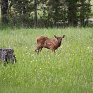 Elk Calf-18.jpg