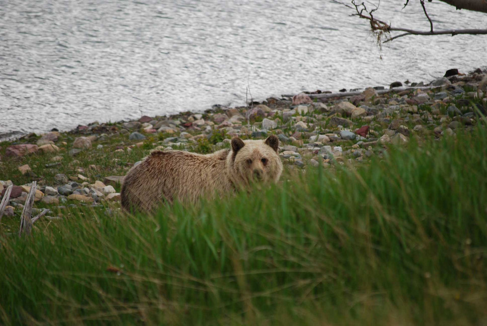 Grizzly-at-the-lake--web.jpg