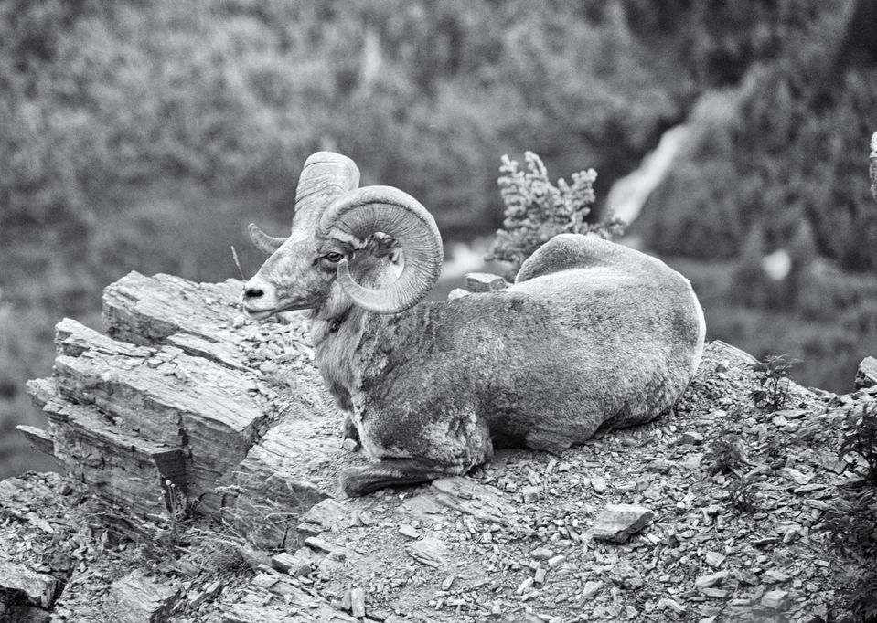 GNP Bighorn sheep.jpg