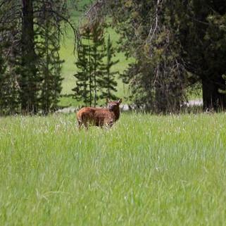 Elk Calf-25.jpg