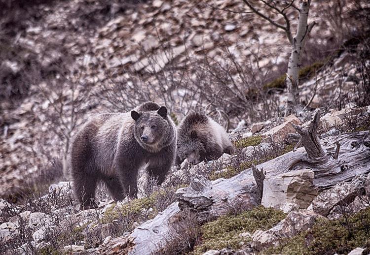 Grizlies-on-the-Rock.jpg