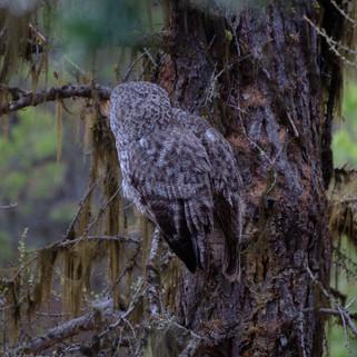 Great Grey Owl Pair (48 of 50).jpg