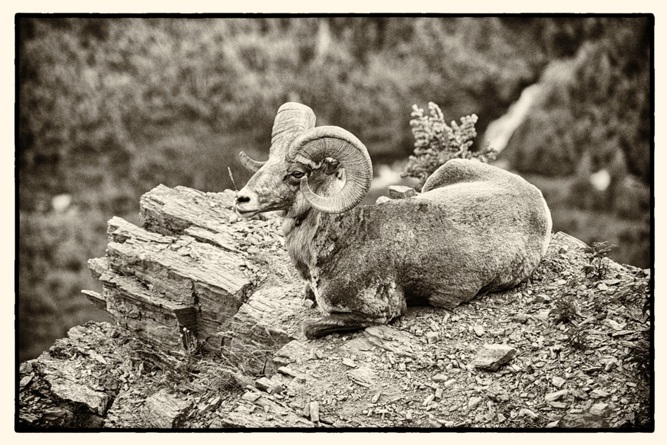 GNP Big Horn Sheep on Rock.jpg