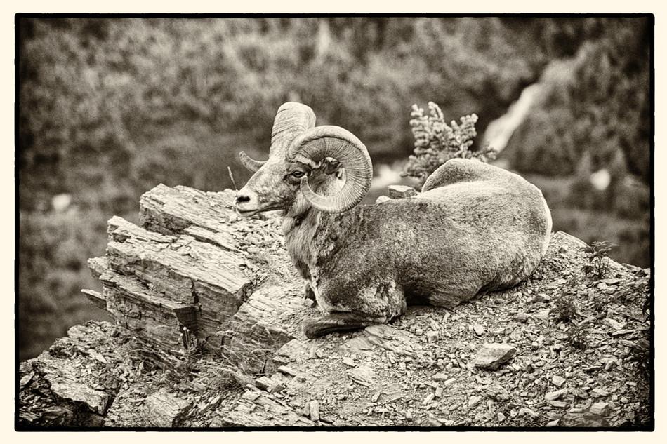 GNP Big Horn Sheep on Rock.jpg