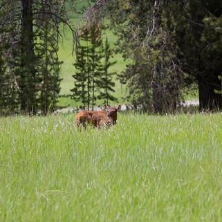 Elk Calf-27.jpg