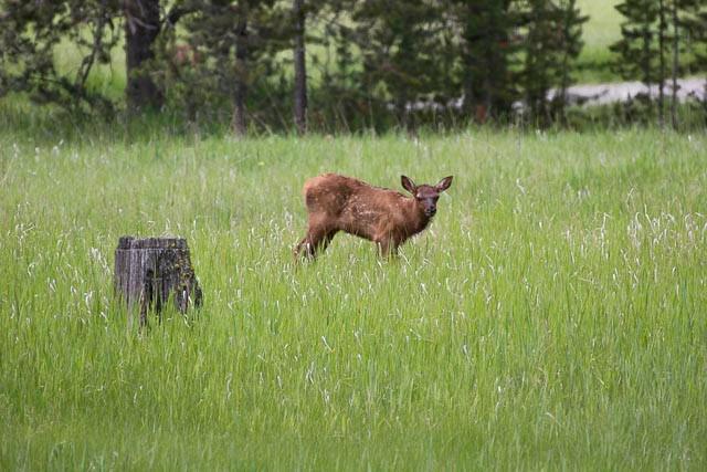 Elk Calf-19.jpg