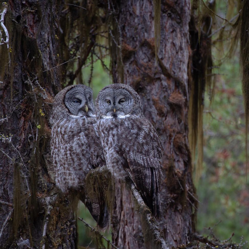 Great Grey Owl Pair (43 of 50).jpg