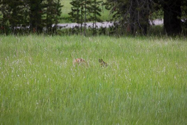 Elk Calf-21.jpg