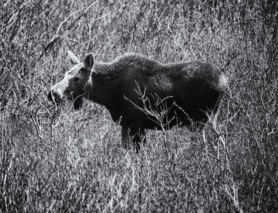 GNP Moose1.jpg