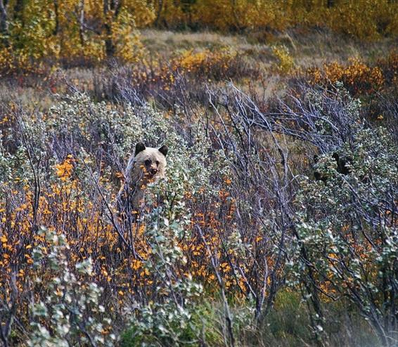 St.-Marys-Grizzly-Cub.jpg