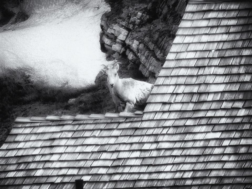 GNP Goat on roof.jpg